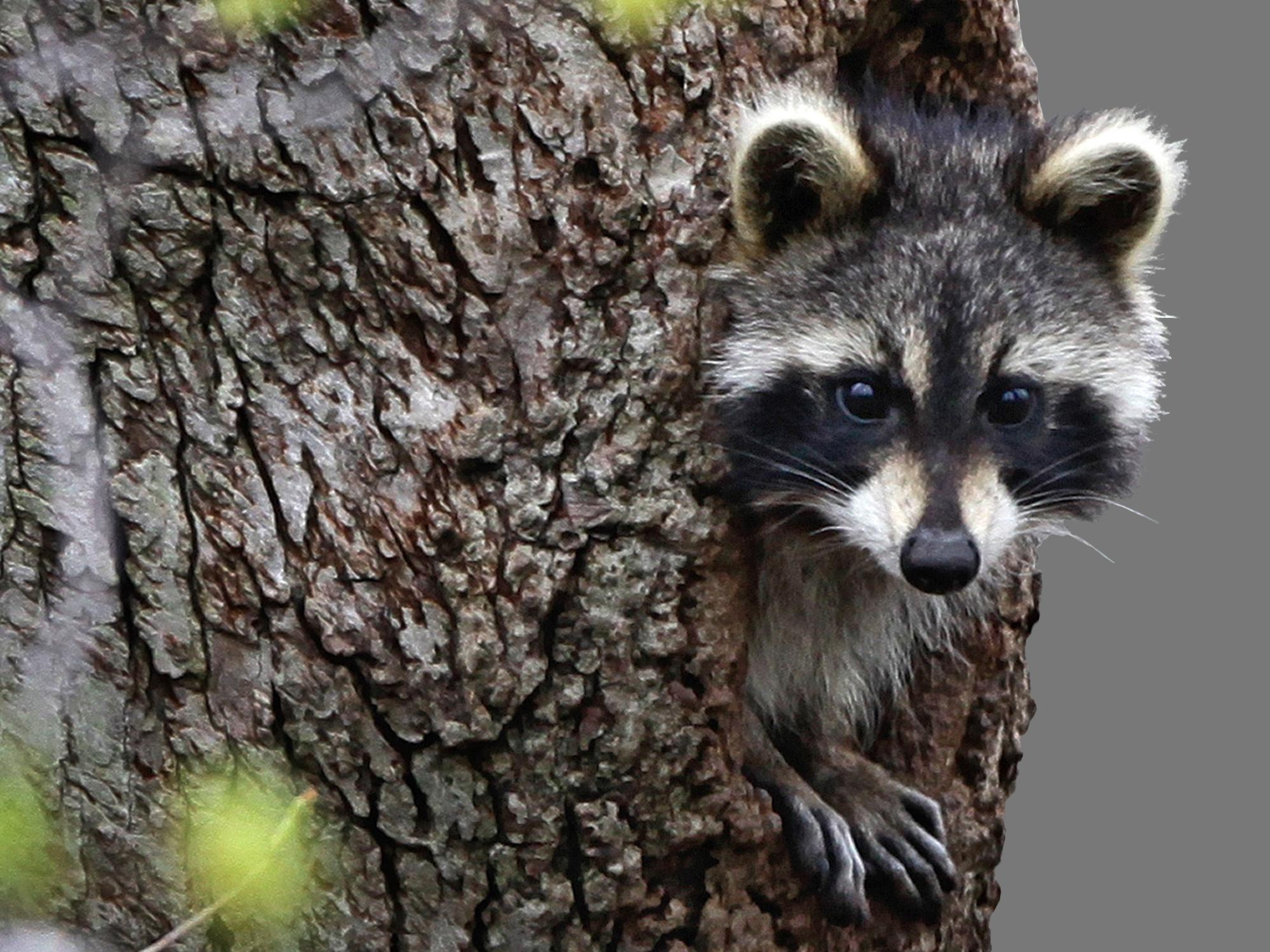 Raccoon with rabies sparks warning in Copperas Cove ... Raccoon With Rabies